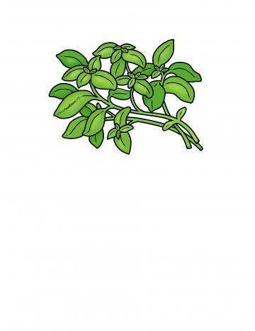 Basil Illustration
