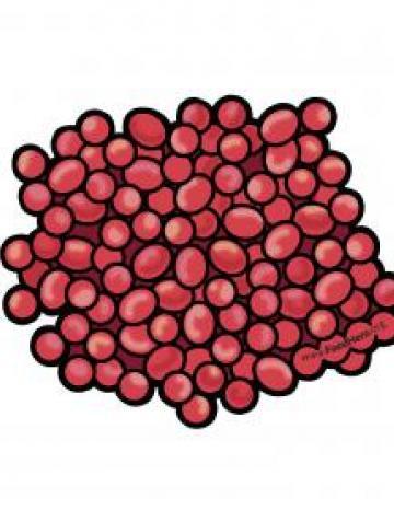 Cranberries Color Illustration
