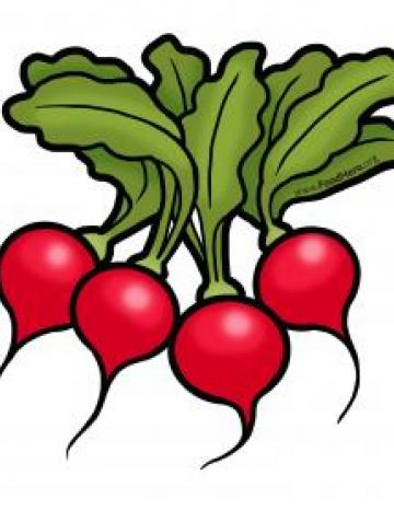 Radishes Illustration
